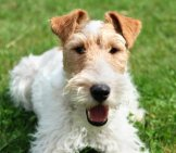 Wire Fox Terrier Selfie!photo By: Ahlnhttps://creativecommons.org/licenses/by/2.0/