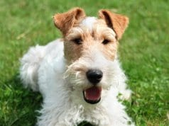 Wire Fox Terrier selfie!Photo by: AHLN//creativecommons.org/licenses/by/2.0/
