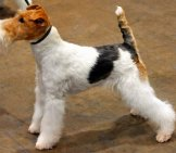 Beautiful Wire Fox Terrier Outside The Show Ring Photo By: State Farm Https://creativecommons.org/licenses/by/2.0/