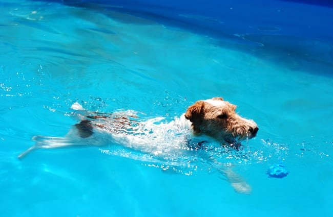 Wire Fox Terrier swimming in the family pool Photo by: Kevin Jones https://creativecommons.org/licenses/by/2.0/