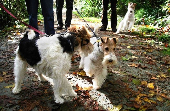 Wire Fox Terriers on a walk through the park Photo by: AHLN https://creativecommons.org/licenses/by/2.0/