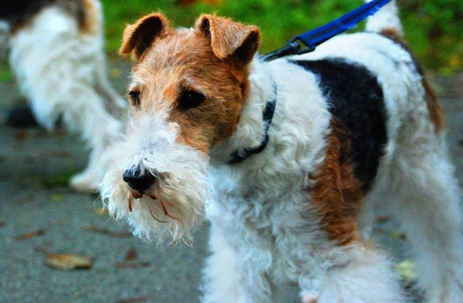 Wire Fox Terrier ready for an adventure Photo by: AHLN https://creativecommons.org/licenses/by/2.0/