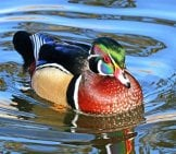 Male Wood Duck Swimming In Calm Waters