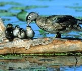 Mother Wood Duck Caring For Her Chicks. Baby Wood Ducks.