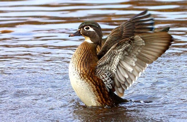Female Wood Duck settling onto the water