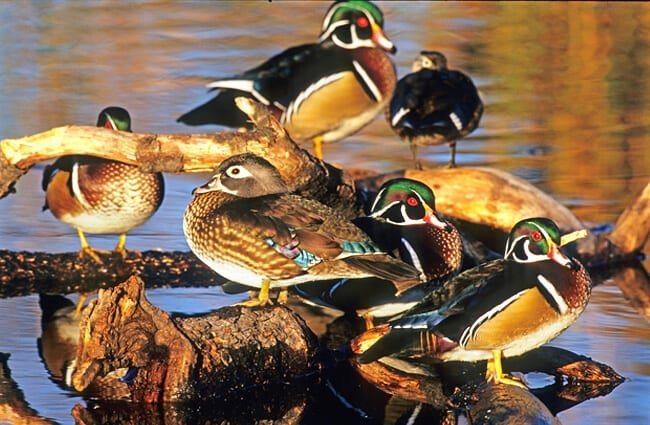 Flock of Wood Ducks on a fallen tree