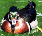 Beautiful Male Wood Duck