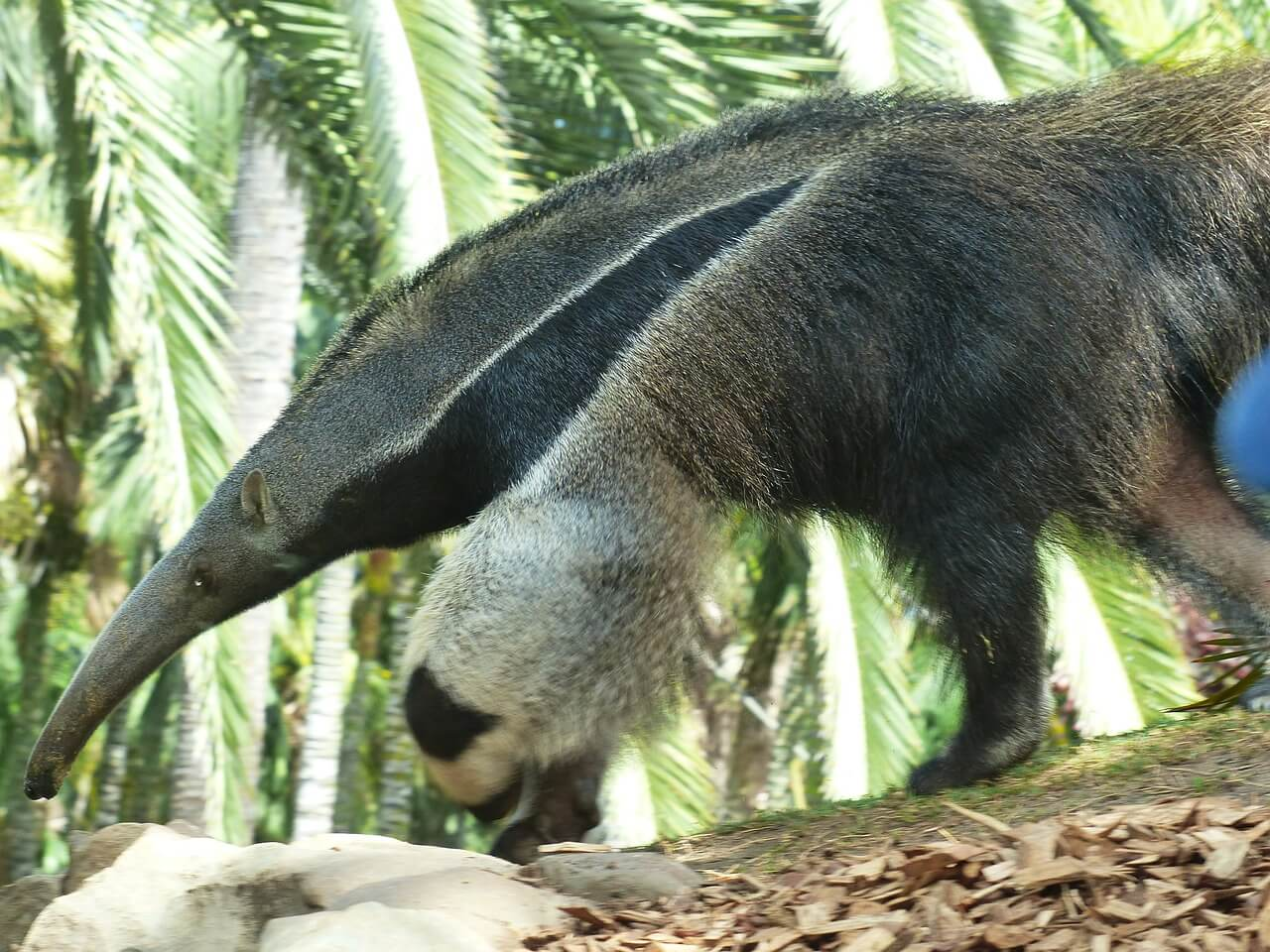 https://pixabay.com/photos/giant-anteater-animal-406712/
