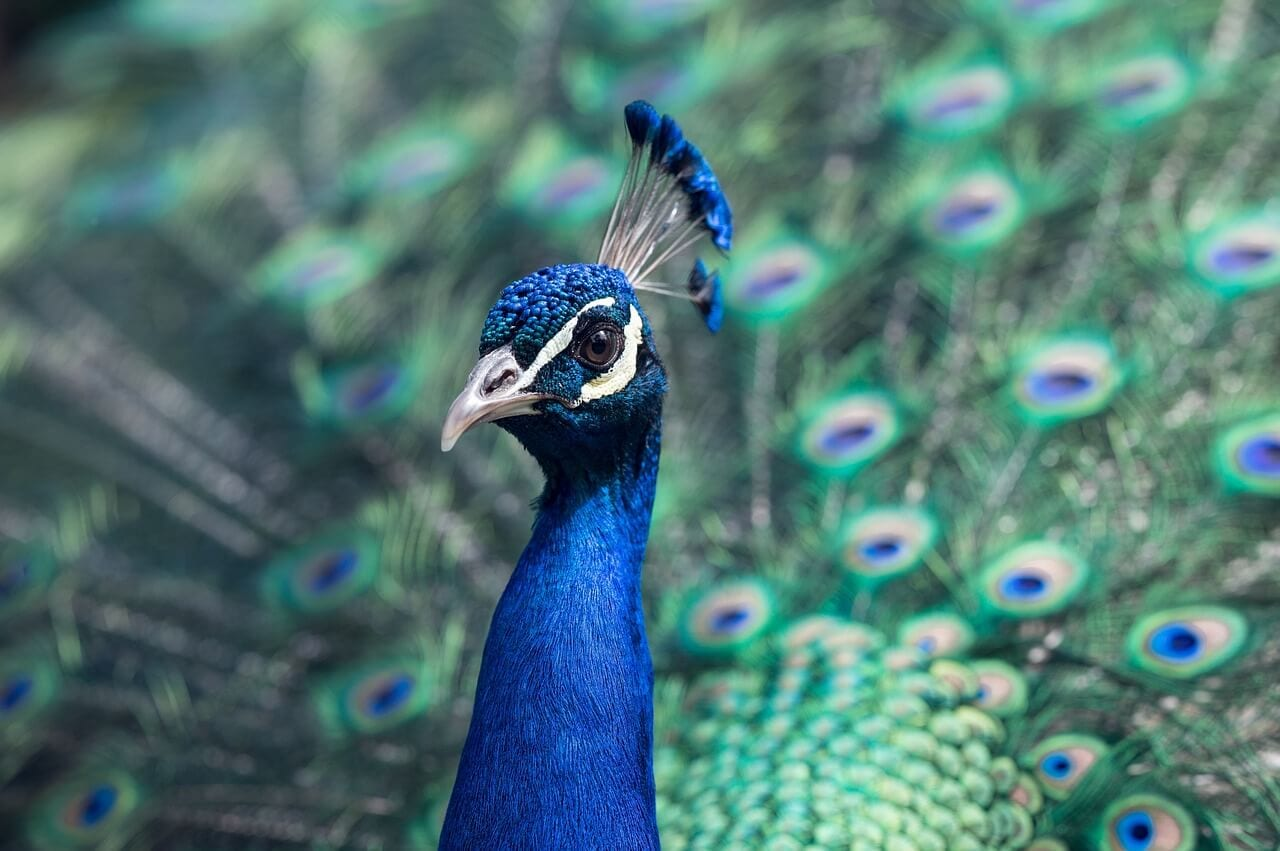 //pixabay.com/photos/peacock-bird-pride-wildlife-1209474/