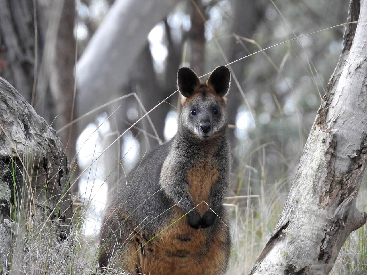//pixabay.com/photos/swamp-wallaby-kangaroo-standing-1575016/