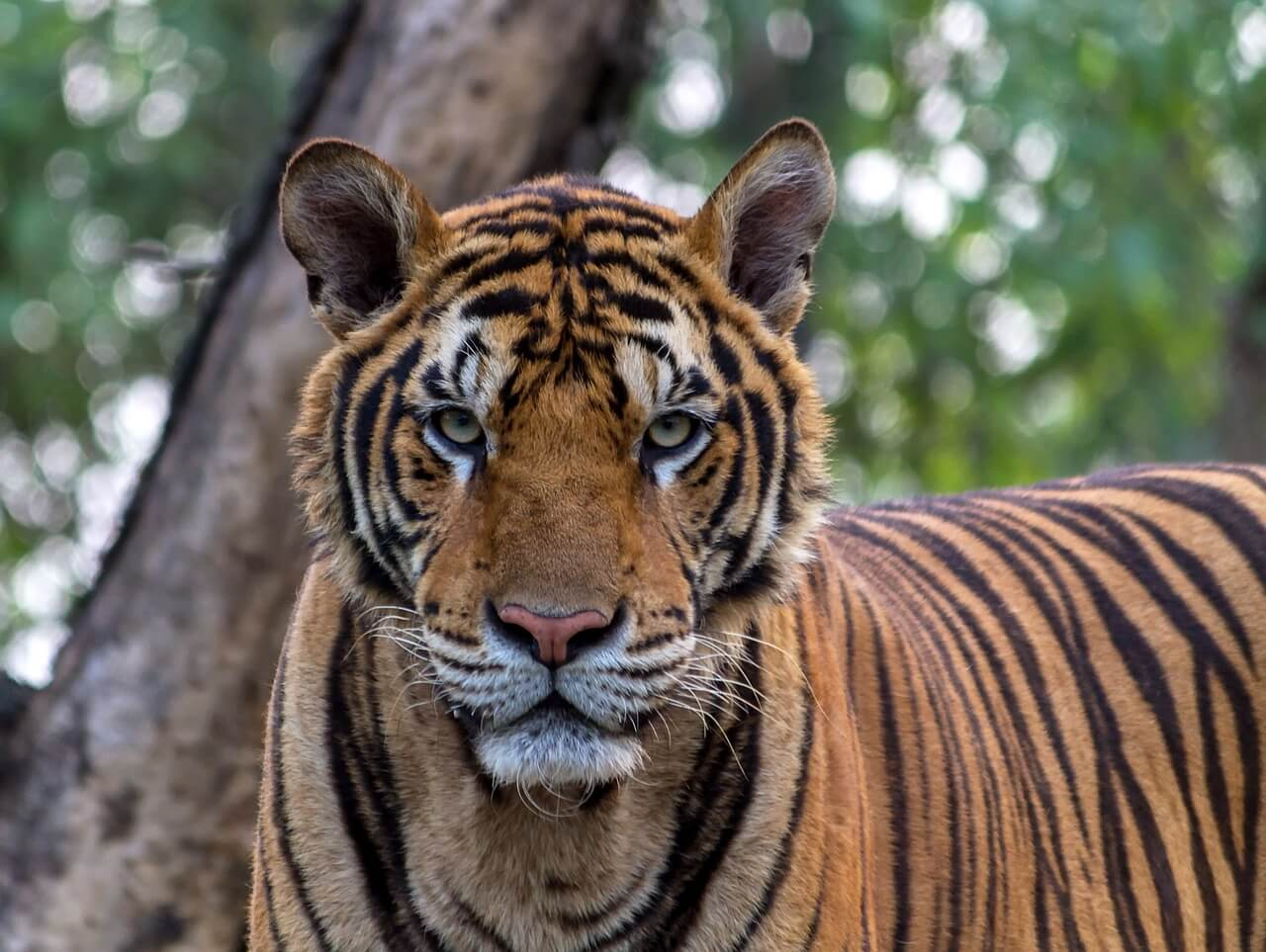 //pixabay.com/photos/tiger-animals-pretty-bengal-1822537/
