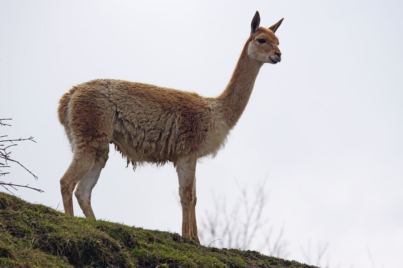 https://pixabay.com/photos/vicuna-paarhufer-calluses-ohler-1273596/