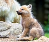 Arctic Wolf Pup Photo By: Tambako The Jaguar Https://creativecommons.org/licenses/by-Nd/2.0/