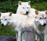 A Trio Of Arctic Wolves Just Hanging Out Photo By: Matt Lancashire Https://creativecommons.org/licenses/by-Nd/2.0/