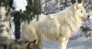 Stunning Arctic Wolf posing in the woodsPhoto by: Sakarrihttps://creativecommons.org/licenses/by-nd/2.0/