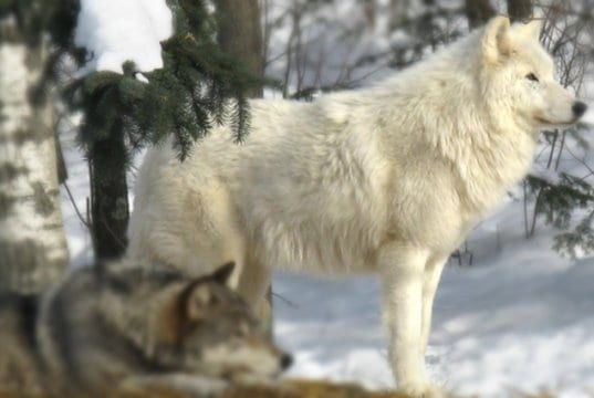 Stunning Arctic Wolf posing in the woodsPhoto by: Sakarri//creativecommons.org/licenses/by-nd/2.0/
