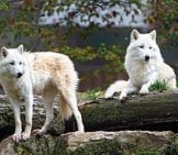 Watchful Arctic Wolves Photo By: Tambako The Jaguar Https://creativecommons.org/licenses/by-Nd/2.0/