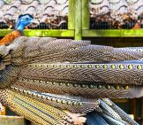 Beautiful Great Argus Pheasant, Looking Back At His Tail Feathersphoto By: (C) Jaapbleijenberg Www.fotosearch.com