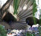 Malayan Great Argus Pheasant Photo By: Cuatrok77 Https://creativecommons.org/licenses/by-Sa/2.0/