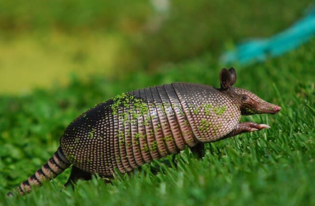 Armadillo photographed near Cancun, MexicoPhoto by: Chris van Dyckhttps://creativecommons.org/licenses/by/2.0/