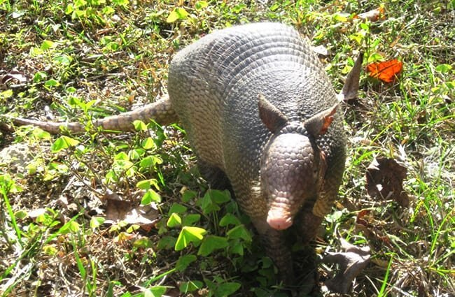 Armadillo roaming around Carney Island State Park, Florida Photo by: Kristine Paulus https://creativecommons.org/licenses/by/2.0/