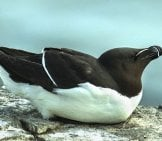 Razorbille Auk (Lesser Auk) Photo By: Francesco Veronesi //creativecommons.org/licenses/by-Sa/2.0/