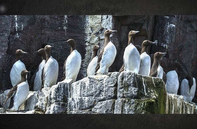 Auk at their cliff-side breeding grounds Photo by: Francesco Veronesi https://creativecommons.org/licenses/by-sa/2.0/