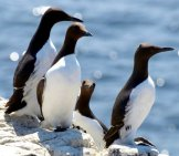 Razorbill Auks On A Sunny Dayphoto By: Jim Roberts//creativecommons.org/licenses/by-Sa/2.0/