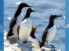 Razorbill Auks on a sunny dayPhoto by: Jim Robertshttps://creativecommons.org/licenses/by-sa/2.0/