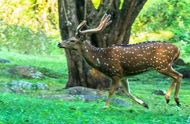Male Axis Deer running through the forest Photo by: Mike Prince https://creativecommons.org/licenses/by/2.0/