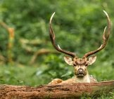 Axis Deer Buck Watching Over A Log Photo By: Balaji Venkatesh Sivaramakrishnan Https://creativecommons.org/licenses/by/2.0/