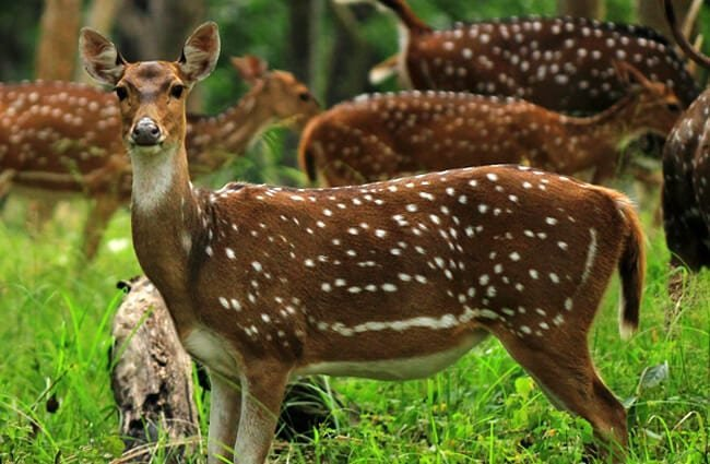 A group of Chital - Axis Deer grazingPhoto by: Mahesh Balasubramanianhttps://creativecommons.org/licenses/by/2.0/