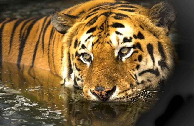 Bengal Tiger taking a swim in calm watersThis photo is in the Public Domain