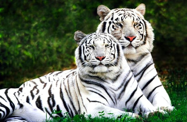 A pair of white Bengal Tigers lounging in the afternoon sun Photo by: Matthew Smith https://creativecommons.org/licenses/by-nc-sa/2.0/