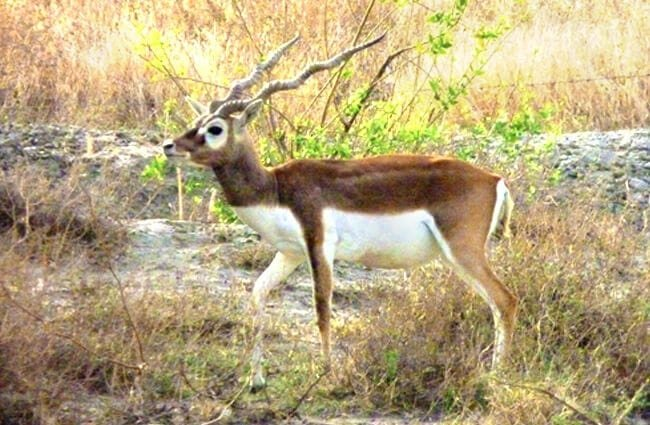 Male blackbuck at Tal Chhapar Photo by: Archit Ratan //creativecommons.org/licenses/by/2.0/