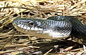 Closeup of a juvenile Black Racer snakePhoto by: bobistravelinghttps://creativecommons.org/licenses/by/2.0/