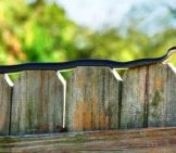 Black Racer Snake Sunning On A Fence! Photo By: Rusty Clark ~ 100K Photos Https://creativecommons.org/licenses/by/2.0/