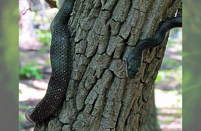 Juvenile Black Racer snake on an oak tree Photo by: bobistraveling https://creativecommons.org/licenses/by/2.0/