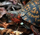Box Turtle In The Leaves