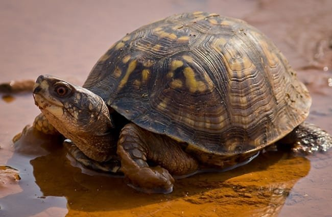 Box Turtle - notice his high-domed shell