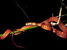 Andaman cat snake on a branch in the nightPhoto by: Vardhanjp CC BY-SA 4.0 https://creativecommons.org/licenses/by-sa/4.0