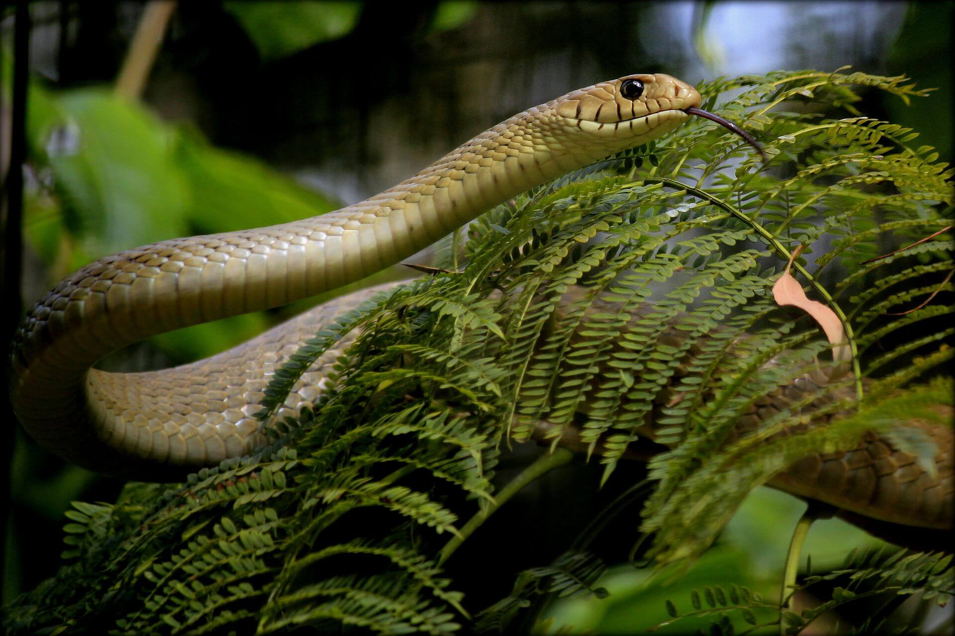 //commons.wikimedia.org/wiki/Category:Ptyas_mucosa#/media/File:Common_India_Rat_Snake.jpg