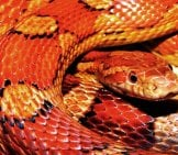 Corn Snake Coiled Up On His Heat Rock