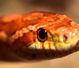 Closeup Of A Corn Snake's Face