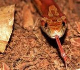 Corn Snake With His Tongue Extended