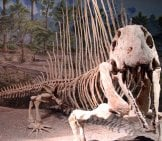 Dimetrodon Skeleton In A Museum Image By: Dylan Kereluk From White Rock, Canada Cc By 2.0 Https://creativecommons.org/licenses/by/2.0