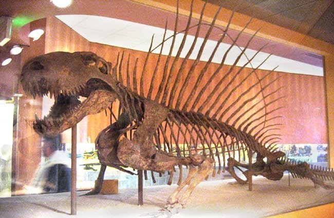 Dimetrodon skeleton at the National Museum of Natural History Image by: Dylan Kereluk from White Rock, Canada CC BY 2.0 https://creativecommons.org/licenses/by/2.0