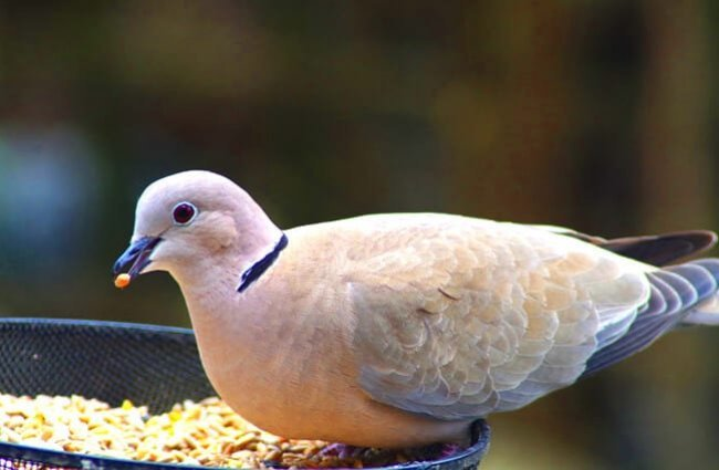 Ringneck Dove, collared dove Photo by: Derek Sewell, Public Domain https://pixabay.com/photos/dove-collar-bird-streptopelia-696394/