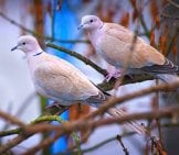 A Pair Of Collared Doves Perched On An Ash Tree Branchphoto By: Hedera.balticahttps://creativecommons.org/licenses/by-Sa/2.0/