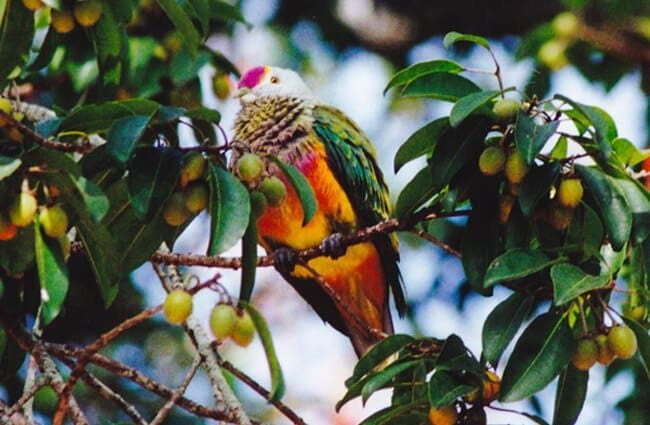 Rose-Crowned Fruit Dove Photo by: Ron Knight https://creativecommons.org/licenses/by-sa/2.0/